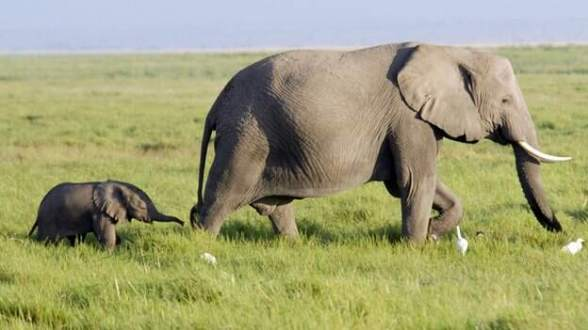 Elephants population under threat